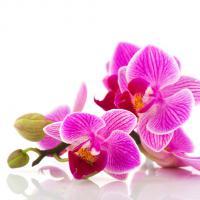 909 Орхидея фуксия
